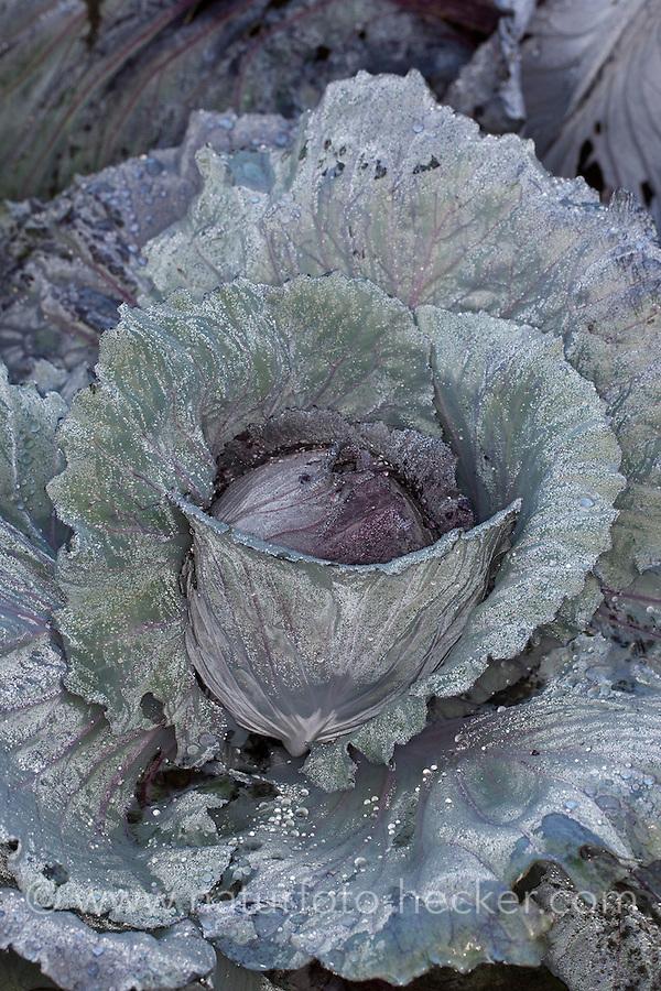 Rotkohl, Blaukohl, Rot-Kohl, Blau-Kohl, Kohl, Brassica oleracea convar. capitata var. rubra, Brassica oleracea var. capitata, red cabbage, cabbage, purple cabbage, red kraut, or blue kraut