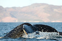 Humpback whale (megaptera novaeangliae) Gulf of California.A humpback whale tail., Baja California, Mexico, Pacific Ocean