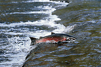 Male Silver of Coho Salmon (Oncorhynchus kisutch) swimming up spawning stream in late fall.  .