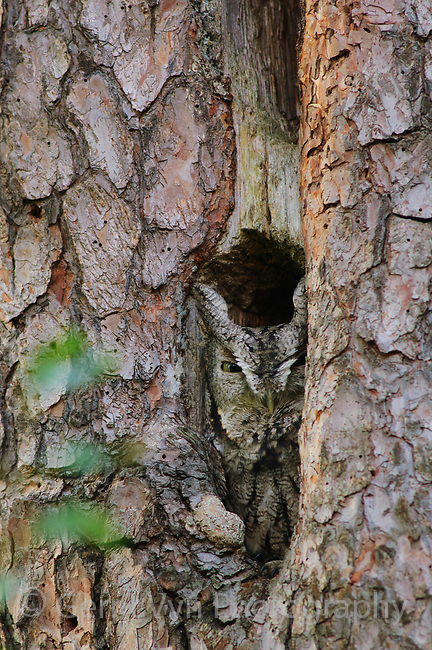 Adult, gray morph Eastern Screech-Owl (Megascops asio) roosting in a Pileated Woodpecker excavation in a Red Pine. Tompkins County, New York. October.