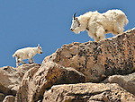 A mountain goat nanny (Oreamnos americanus) watches her kid find its footing along a rocky ledge near the summit of Mount Evans, Colorado.