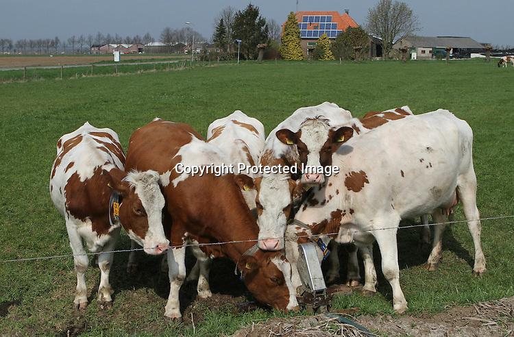 Foto: VidiPhoto..HERVELD - Catfight tussen koeien. Het lijkt wel hoogzomer. De koeien van melkveehouder Jan Vilier uit Herveld in de Betuwe vechten dinsdag bij een weidepomp om een slok water. En dan is het ieder voor zich. Zelden is het in het voorjaar zo vroeg droog geweest..