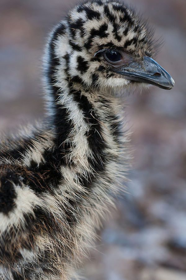 An Emu chick about 3 weeks old.