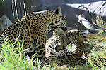 Jaguar cubs play while mom licks.  Captive