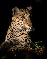 MalaMala may be the best place to see wild leopards on earth.  This female (known as the Dudley Female) had stashed a kill in a nearby tree.