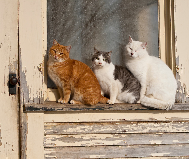 Three Cats Sitting Outdoors On Peeling Window Ledge With