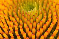 Pattern in Coneflower, Echinacea purpurea