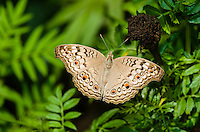 A Grey Pansy butterfly (Junonia atlites). (Cambodia)