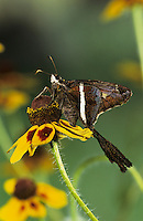 White-striped Longtail, Chioides catillus, adult on Clasping-leaved Coneflower (Dracopis amplexicaulis) , Willacy County, Rio Grande Valley, Texas, USA, May 2004