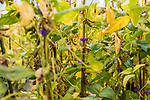 "April 19, 2016. Durham, North Carolina. <br />  In Greenhouse 5 at the Bayer Crop Science Research Triangle Park facility, soybeans containing a ""stacked trait"" are grown. These plants have been genetically modified to be resistant  to a certain insect and herbicide tolerant, hence the ""stacked"" tag.<br />  The Bayer Crop Science Research Triangle Park main campus houses 2 large greenhouses which are used to test grow many of the seeds that are modified nearby at the Innovation Center. Another greenhouses is currently under construction."
