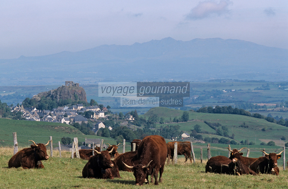 Europe/France/Auvergne/15/Cantal/Massif du Puy Mary/Vallée de la Cheylade/Env d'Apchon : Vaches Salers en paturage avec en fond le massif du Sancy (1885mètres)