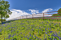 Texas Bluebonnets landscape along the fence north of Waco. The Texas bluebonnets are very popular and people come from all over to photograph them, take selfies in them and just to enjoy the wonderful color of the wildflower in spring.
