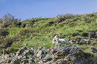 Dall sheep ewe, Brooks Range mountains, Arctic National Wildlife Refuge, Alaska