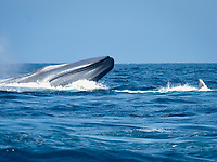 mating Blue Whales, Balaenoptera musculus, 9 miles off San Diego, California, USA, Pacific Ocean