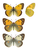 Clouded Yellow - Colias croceus - Male (top) - female - (middle) - female, form helice (bottom). Wingspan 50mm. A fast-flying migrant visitor to Britain, from mainland Europe. Adult has dark-bordered upperwings that are rich orange-yellow in male, pale yellow in female. Both sexes have yellow underwings with a few dark markings. Larva is green with pale yellow lateral line; feeds on Lucerne and other members of the pea family. A summer visitor to Britain, seen mainly in coastal areas; generally scarce but common in some years.