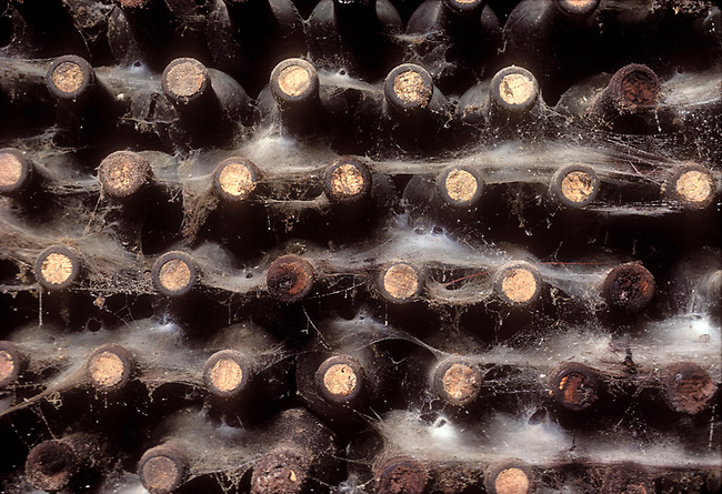 Cobwebs hang from old bottles discovered when Beringer Vineyards was digging new caves.  Wine was mostly not drinkable.