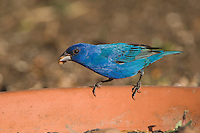 Indigo Bunting, Passerina cyanea, male eating mealworm from dish, Uvalde County, Hill Country, Texas, USA, April 2006