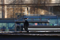 This is a member of a group of cormorants (Phalacrocorax carbo) that was used to stay along the Seine river, near the mouth of the Canal the Sain Martin, in Paris. While it was waiting for the appearance of something to eat, a touristic boat with people visiting the town is passing. Digitally Improved Photo.