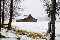 Morning snow falls on the T.A. Moulton Barn in Grand Teton National Park, Wyoming.