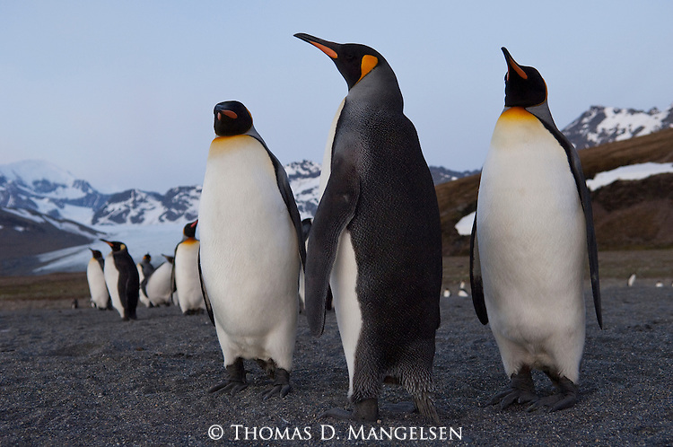 King penguins stand on the beach of St. Andrews Bay at sunrise in South Georgia, South Atlantic Ocean.