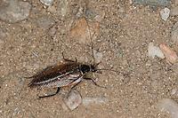Echte Waldschabe, Wald-Schabe, Podas Waldschabe, Schabe, Männchen, Ectobius sylvestris, Ectobius silvestris, Poda's cockroach, ectobid cockroach, Waldschaben, Schaben, Blattoptera, ectobid cockroaches