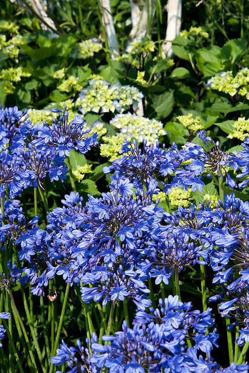 Agapanthus and hydrangea, early July.