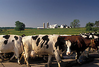 AJ4276, Amish, cows, Amish Country, Lancaster County, Holstein, Pennsylvania, Dairy cows walking to the barn on an Amish farm in Pennsylvania Dutch Country in Lancaster County in the state of Pennsylvania.