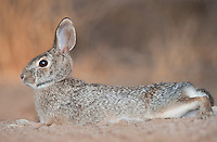 673280050 a wild desert cottontail rabbit sylvilagus audubonii on santa clara ranch hidalgo county rio grande valley texas united states