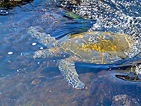 An endangered green sea turtle swims in tide pools off a black sand beach on the Big Island.
