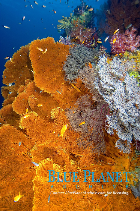 orange sea fans, Subergorgia species, soft corals, Dendronephthya species, and other gorgonian soft corals, East of Eden, Similan Islands, Thailand, Andaman Sea, Indian Ocean