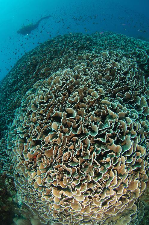 Diver exploring Cabbage Coral mountain (Turbinaria reniformis). Also known as Scroll Coral. Gorontalo, Indonesia