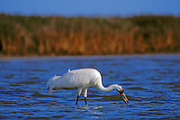 Whooping Cranes (Grus americana) feeding on saltwater clam along edge of Intracoastal Waterway, Texas.  Aransas National Wildlife Refuge.  March.