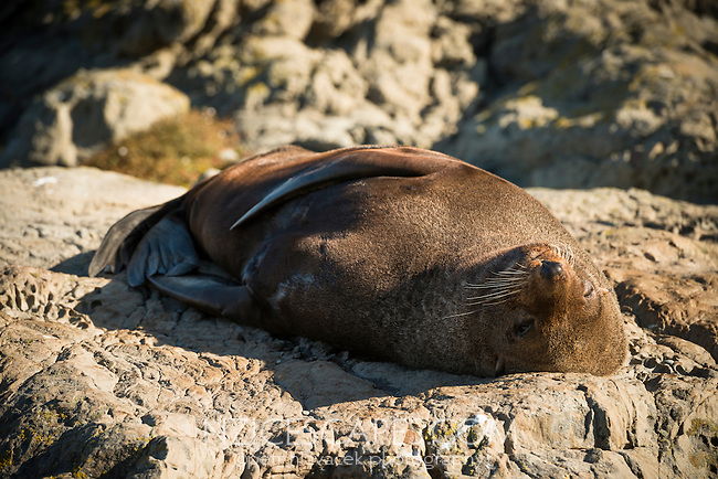New Zealand fur seal, Arctocephalus forsteri, in Kaikoura, Marlborough Region, South Island, East Coast, New Zealand