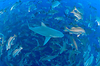 bull shark, Carcharhinus leucas, swimming through annual spawning aggregation of mutton snappers, Lutjanus analis, looking for an easy meal of a fish distracted by the reproductive urge, Gladden Spit and Silk Cayes Marine Reserve, Placencia, Belize, Caribbean Sea, Atlantic Ocean; foreground shark has mating scars on head