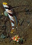 Black-rayed Shrimpgoby, Stonogobiops nematodes with shrimp Alpheus randalli, Seraya Secrets, Tulamben, Bali, Indonesia, Pacific Ocean