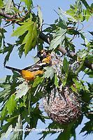 01611-087.01 Baltimore Oriole (Icterus galbula) female at nest, Marion Co., IL
