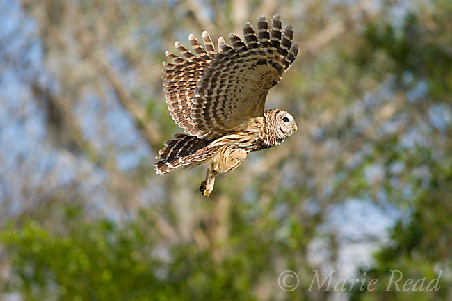 Barred Owl (Strix varia) in flight, Osceola County, Florida, USA