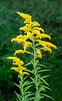 CANADIAN GOLDENROD Solidago canadensis (Asteraceae) Height to 2m. Variable, upright and downy perennial that grows in damp, wayside ground, hedgerows and rough grassland. FLOWERS are yellow; individual heads are borne in crowded, arching and 1-sided sprays in branching clusters (Jul-Oct). FRUITS are 1-seeded with pappus hairs. LEAVES are oval, toothed and 3-veined. STATUS-Introduced and now a familiar garden plant that is naturalised locally as an escape.