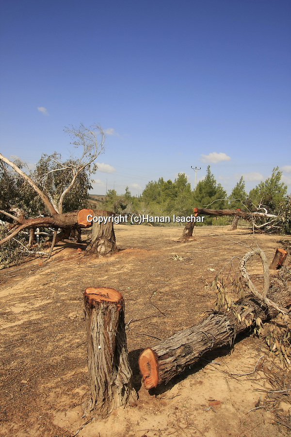 Israel, Negev desert, vandalised Eucalyptus trees in Dudaim Forest