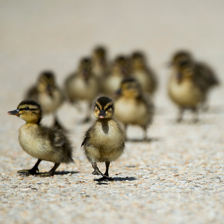 WASHINGTON, DC - MAY 14: Two-day old ducklings walk around Lower Senate Park on the U.S. Capitol grounds on Thursday, May 14, 2015. The ten ducklings swam in the pool and walked across the plaza trying to keep up with their mother. (Photo By Bill Clark/CQ Roll Call)