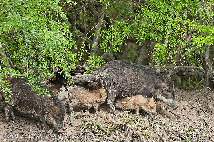White-lipped Peccaries (Tayassu pecari) about to take a mud bath at noon, tropical dry forest during dry season, Kaa-Iya del Gran Chaco National Park, Santa Cruz, Bolivia.