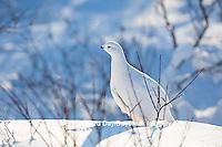 00839-00511 Willow Ptarmigan (Lagopus lagopus) winter plumage, Churchill Wildlife Management Area, Churchill, MB Canada