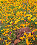 Mexican Gold Poppies with Coulter's lupine and owl's clover blooming on spring Sonoran desert floor