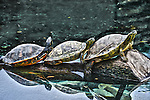 Digital photoart rendering of 3 colorful turtles on a log at the San Antonio Zoo.