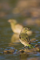 Painted Bunting, Passerina ciris, female bathing, Lake Corpus Christi, Texas, USA, May 2003