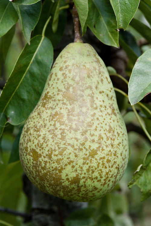 "Pear 'Sierra', early September. A Canadian pear that ""originated in Summerland, British Columbia, by Canada Dept. of Agr. Introduced in 1969. 'Bartlett' x 'Marguerite Marillat'. Cross made in 1947... Fruit: large; long, pyriform; skin smooth, thin, very tender, easily develops russeting from bruises or frost; green when picked, yellowish green when ripe; flesh very fine and smooth, very sweet, juicy, excellent quality; ripens with 'Anjou', or third week of September."" (Brooks and Olmo Register of Fruit and Nut Varieties)"