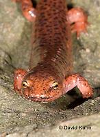 0610-0824  Northern Red Salamander, Pseudotriton ruber ruber  © David Kuhn/Dwight Kuhn Photography