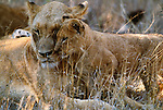 African Lion, Kruger National Park, South Africa
