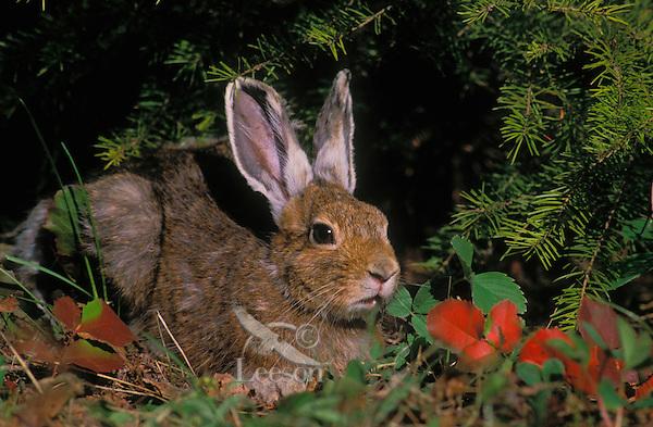 Snowshoe hare in spring coat..Camouflage. North America..(Lepus americanus).