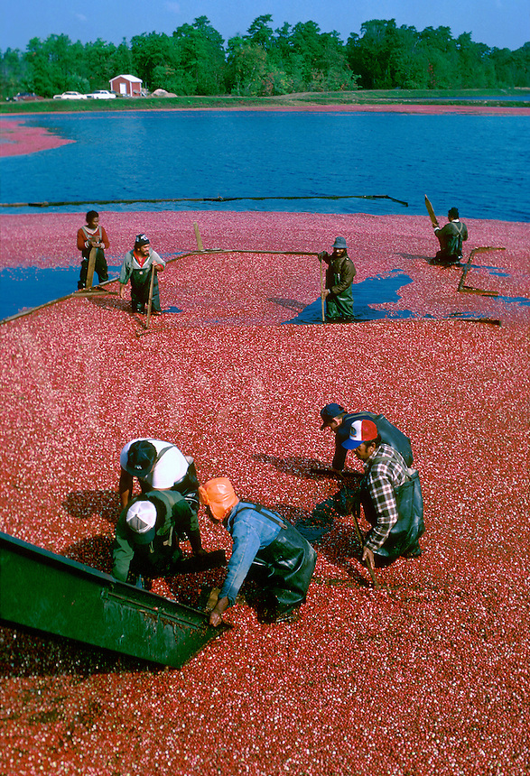 Cranberry Bogs, Cranberry Harvest, Southern New Jersey. agriculture, harvesting. New Jersey USA Farm.